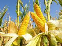 Насіння кукурудзи ТАР 349 МВ ФАО 290
