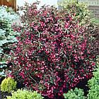 Саженцы Вейгелы цветущей Александра (Weigela florida Alexandra), фото 2