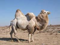 Одеяло из верблюжей шерсти Shining Star
