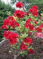 Рододендрон листопадний Nabucco 3 річний, Рододендрон листопадный Набукко, Rhododendron Nabucco, фото 3