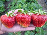 Рассада ягодных культур