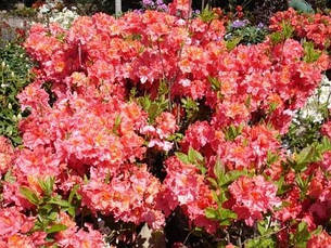 Рододендрон листопадний Juanita 3 річний, Рододендрон листопадный Джуанита, Rhododendron Juanita, фото 2