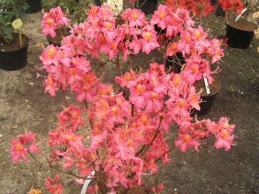 Рододендрон листопадний Juanita 3 річний, Рододендрон листопадный Джуанита, Rhododendron Juanita