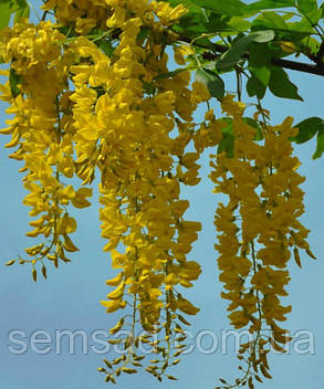 """Бобовник анагиролистный """" Золотой Дождь"""" \ Laburnum anagyroides ( саженцы 2 года) , фото 2"""