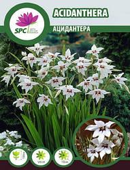 Acidanthera (Душистый гладиолус)