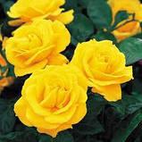 Роза флорибунда Голден Веддинг, фото 2