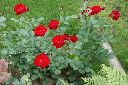 Роза флорибунда Лили Марлен, фото 2