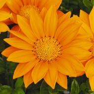 Газания Газу, оранжевая 100 семян, Профнасиння СИНГЕНТА / Syngenta