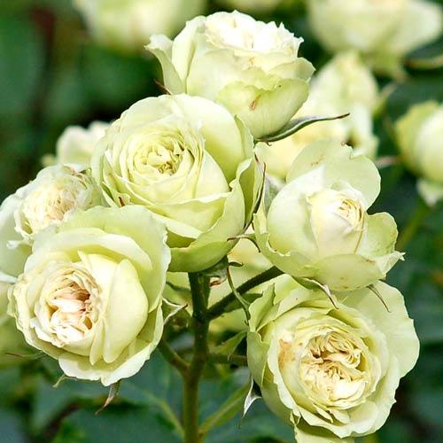 Роза флорибунда Лавли Грин