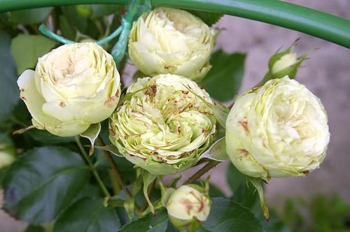 Роза флорибунда Лавли Грин: описание, цветение, характеристики