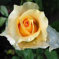 Роза чайно-гибридная Казанова
