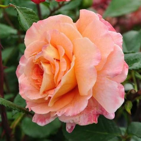 Роза чайно-гибридная Люстиге