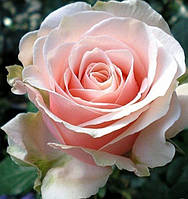 Роза чайно-гибридная Маджестик