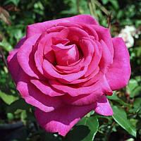 Роза чайно-гибридная Пароле