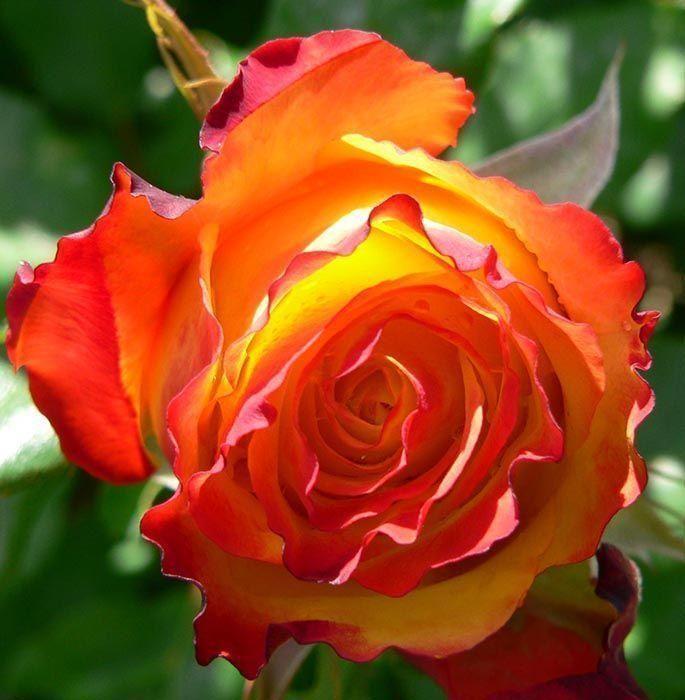 Роза чайно-гибридная Ред Голд