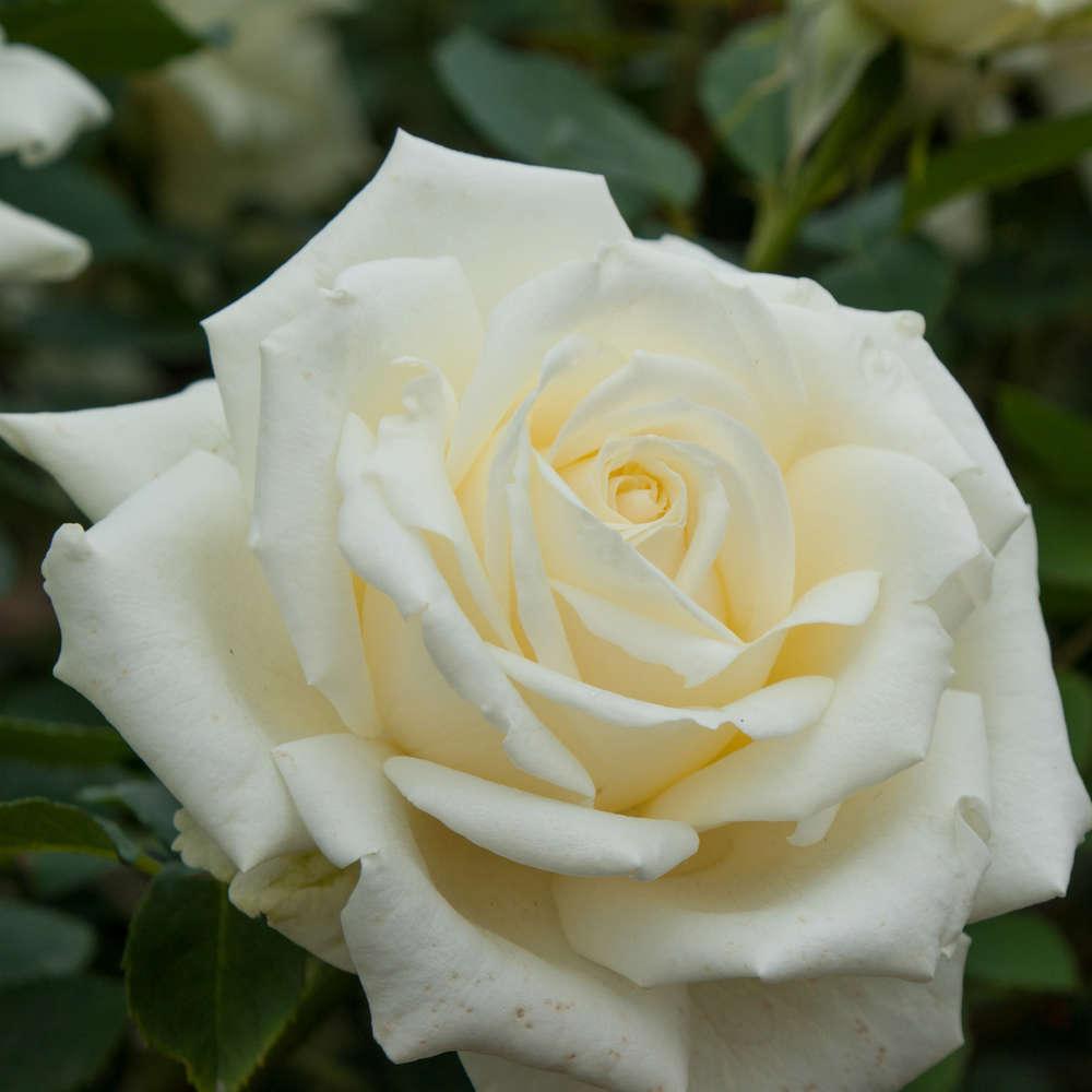 Роза чайно-гибридная Уайт Симфони