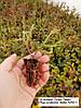 Укорененные черенки туи и других растений в кассетах.