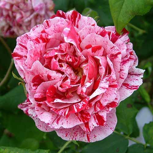 Роза парковая Фердинанд Пишард