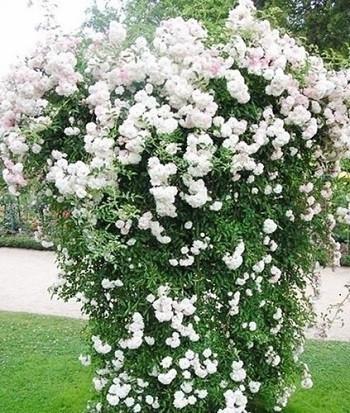 роза сияющая невеста
