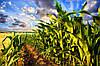 Оптимальний термін сівби кукурудзи