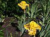 Высокие ирисы (TB) в нашем саду