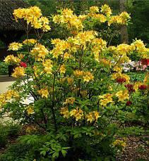 Рододендрон листопадний Anneke 3 річний, Рододендрон листопадный Аннеке, Rhododendron Anneke, фото 2
