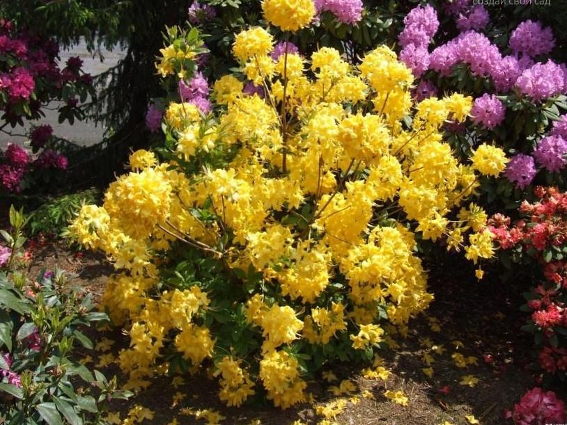 Рододендрон листопадний Anneke 3 річний, Рододендрон листопадный Аннеке, Rhododendron Anneke