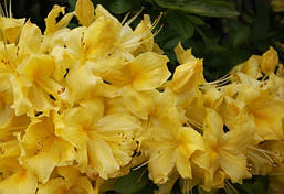 Рододендрон листопадний Anneke 3 річний, Рододендрон листопадный Аннеке, Rhododendron Anneke, фото 3