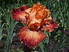 Среднерослые ирисы (BB, IB) в нашем саду