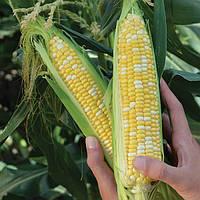 Кукуруза сахарная Камберленд F1 Clause 50 000 семян