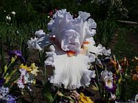 Vanilla Frappe, Sutton'2011