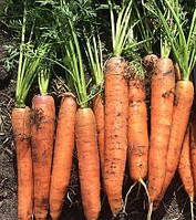 Морковь Сатурно F1 Clause 25 000 семян