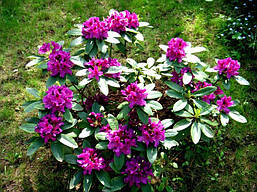 Рододендрон гібридний Rasputin 2 річний, Рододендрон гибридный Распутин, Rhododendron Rasputin, фото 2
