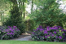 Рододендрон гібридний Rasputin 2 річний, Рододендрон гибридный Распутин, Rhododendron Rasputin, фото 3