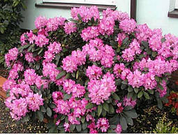 Рододендрон гібридний Blurettia 2 річний, Рододендрон гибридный Блюреттия, Rhododendron yakushimanum Blurettia, фото 3