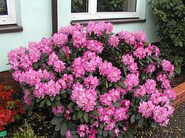 Рододендрон гібридний Blurettia 2 річний, Рододендрон гибридный Блюреттия, Rhododendron yakushimanum Blurettia, фото 2