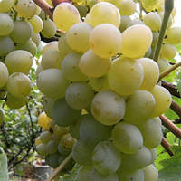 Виноград Мускат Италия