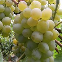 Виноград Мускат Італія