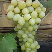 Виноград Мускат Любимый