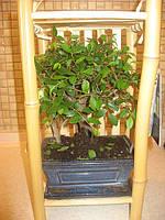 Дерево Бонсай Вяз, фото 1