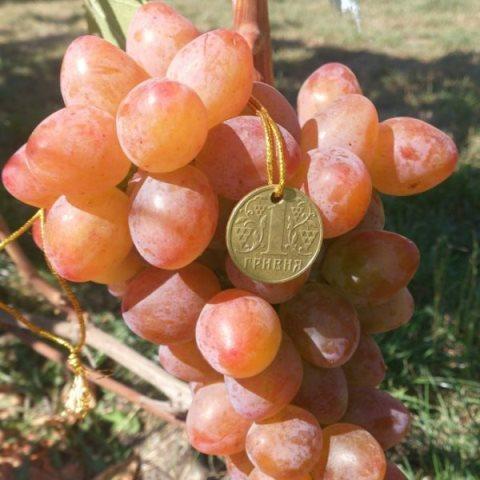Виноград Аладдин