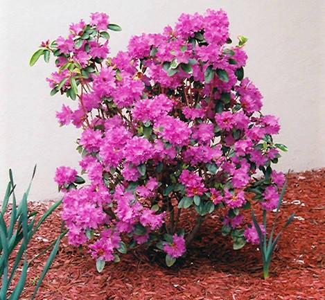Рододендрон каролінський P.J.M. Elite 2 річний, Рододендрон каролинский Элитный, Rhododendron carolinianum, фото 2