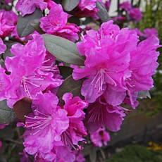 Рододендрон каролінський P.J.M. Elite 2 річний, Рододендрон каролинский Элитный, Rhododendron carolinianum, фото 3