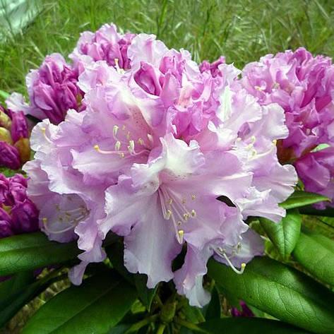 Рододендрон якушиманський Caroline Allbrook 2 річний, Рододендрон якушиманский Каролина Олбрук, Rhododendron, фото 2