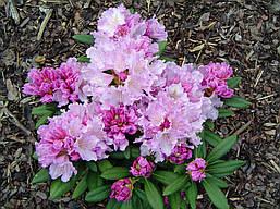 Рододендрон якушиманський Caroline Allbrook 2 річний, Рододендрон якушиманский Каролина Олбрук, Rhododendron, фото 3