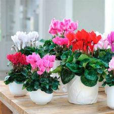 Семена цветов Цикламен персидский Гигант смесь 5 шт