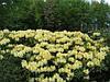 Рододендрон гібридний Karibia 2 річний, Рододендрон гибридный Карибия, Rhododendron Karibia, фото 2
