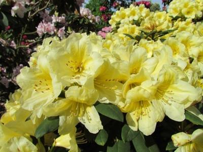 Рододендрон гібридний Karibia 2 річний, Рододендрон гибридный Карибия, Rhododendron Karibia