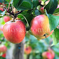 Яблоня ЭДЕРА, фото 1