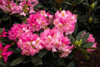 Рододендрон гібридний Arcadius 2 річний, Рододендрон гибридный Аркадиус, Rhododendron Arcadius, фото 2